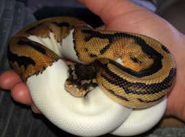 Royal Python (Male)