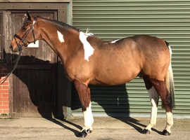Attractive 15.2 coloured sport horse