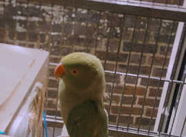 2 Ringneck parrot