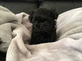 Kc registered imperial shih tzu puppies