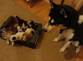 Ready Now!! 7 Beautiful Siberian Huskies 4Girls 3 Boys