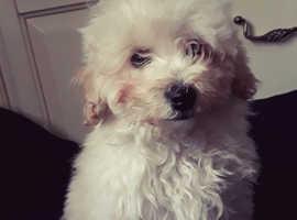 Westiepoo Boy Pup (Westie x poodle)