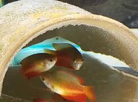 3 dwarf gourami fish