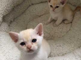 Rare litter of red Asian kittens