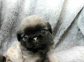 Pedigree rare fluffy pug puppys