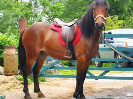 Lady - Beautiful Bay 3 year old Welsh Mare