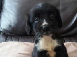 8 sprocker pups for sale