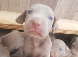 ** KC Registered Weimaraner Puppies For Sale **