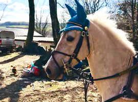 Palomino stallion Arab cross