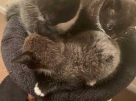 Stunning  blue eye Persian x  ragdoll kittens for sale ready now