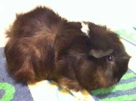 Adult female Tufty Guinea Pig