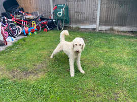 Male labradoodle dog for sale