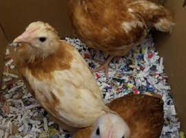 Bovan goldline female chicks 5 weeks old