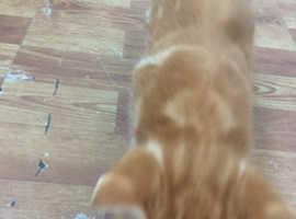 Male Ginger Kitten (6 weeks old)