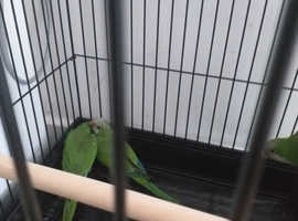 Indian ring neck talking parrots for sale in luron