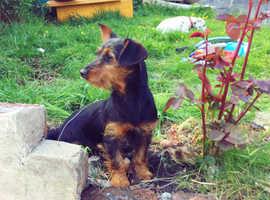 Yorkie x dachshund puppy