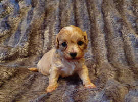 F1 Maltipoo Puppies for sale