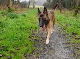 Looking Malinois male for stud