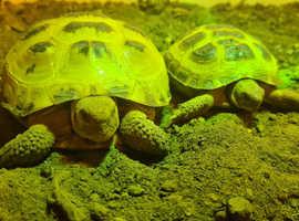 X2 Horsefield Tortoises