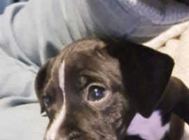 Staffie/lab puppies for sale ready now bangor NI