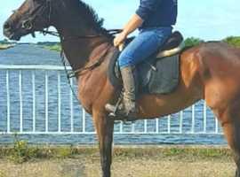 Nice little tb mare