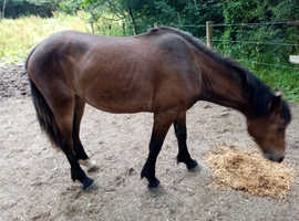 Section d cob mare for sale