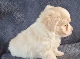 Maltipoo puppies 1 boy left