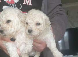 F1 poochon puppies