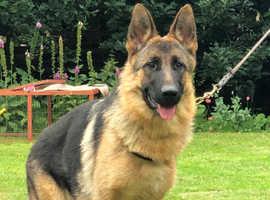 Kc registered German Shepherd female for sale