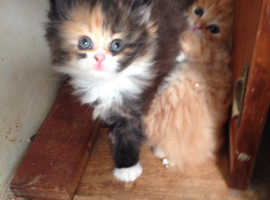 Adorable Siberian/Ragdoll & Persian X Kittens