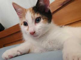 Calico kitten, cutiepie London