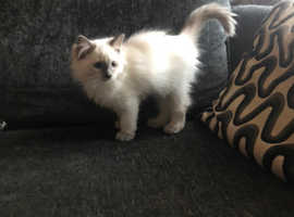 BEAUTIFUL BLUE POINT RAGDOLL GIRL VET CHECKED CAN DELIVER