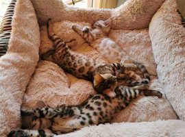 Bengal kittens SOLD