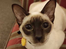NOW RESERVED Female Seal Point Traditional Siamese Cat