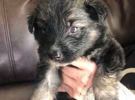 Pick of litter German shepherd puppy ready now