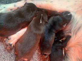 Toy cockapoo puppies