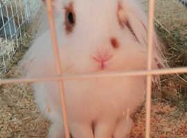 Rabbit for sale *URGENT*