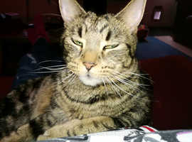 My 3 year old large tabby cat missing
