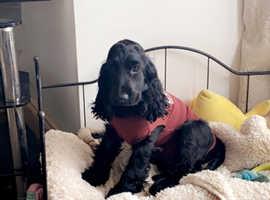 Cocker Spaniel Show Type Female Pup