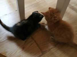 2 British Longhair x Kittens 8 Weeks old.