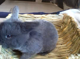 Pure bred baby mini lop female rabbit READY TO RESERVE 2 weeks old
