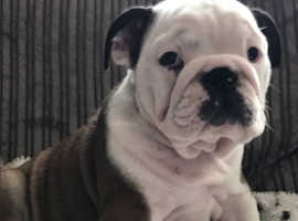 Reduced price British bulldogs