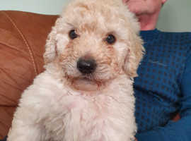 labradoodle F2 puppies these are medium size a labrador