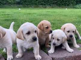Goldador Puppies For Sale - £1000