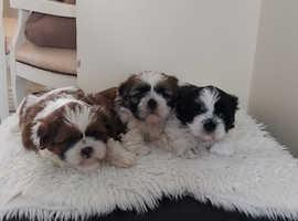 Beautiful shih tzu 72 generation pedigree puppys