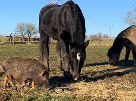 Field to rent for ponies, goats & 2 micro pigs in Perthshire or Fife