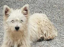 Pedigree Westhighland Terrier