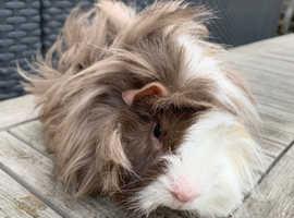 Peruvian male guinea pig.