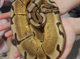 CB13 Spider Royal Python