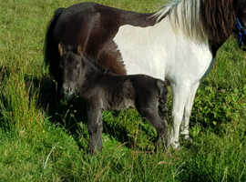 Pretty mini shetland colt foal IMPHS registered